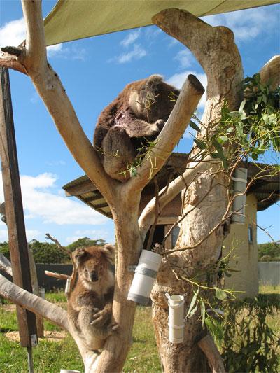 cape-otway-koalas.jpg