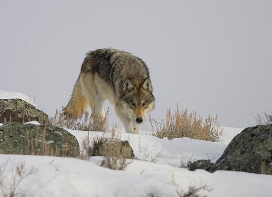 yellowstone-wolf.jpg