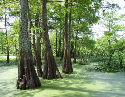 Atchafalaya Swamp near Breaux Bridge, Louisiana (Scarborough photo)