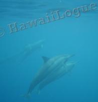 dolphins underwater at Kealakekua Bay