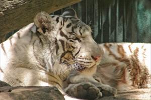 white-tiger-mirage