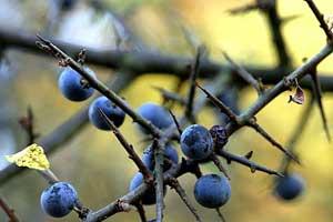 Blackthorn bush