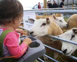 munchkin meets sheep at athlone's agri show