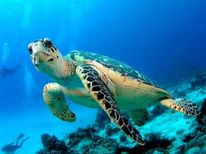 mini-hawkbill-turtle.jpg