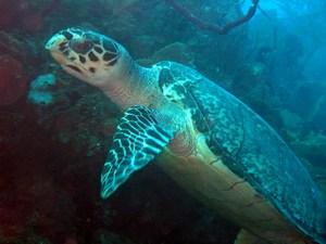 mini-hawksbill-turtle-1.jpg