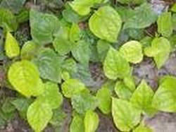 mini-betel-leaf1.jpg