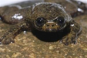 mini-lungless-frog.jpg