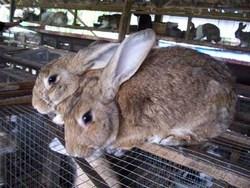 mini-papua-rabbits.jpg