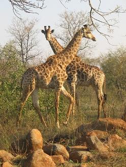 Kruger National Park  Giraffe
