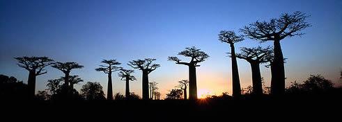 Malagasi Baobab Forest