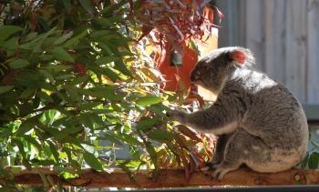 Lone Pine Koala Eating
