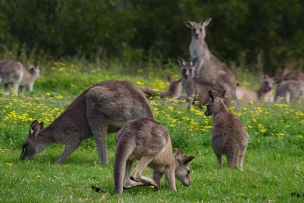 Kangaroos in Hunter Valley