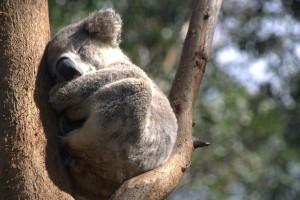 koala hospital patient