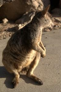 shy wallaby