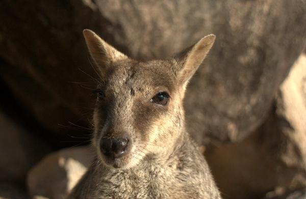 wallaby-face
