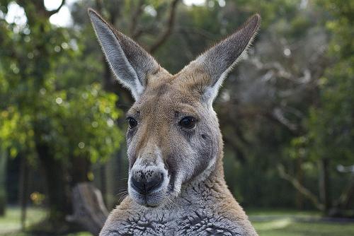 kangaroo native australian animal